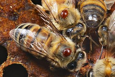 Honey Bee (Apis mellifera) group infested with Honeybee Mites (Varroa destructor), the most devestating pest to honeybees worldwide.  -  Mark Moffett