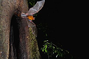 Greater Bulldog Bat (Noctilio leporinus) leaving its roost at nightfall, Smithsonian Tropical Research Station, Barro Colorado Island, Panama  -  Christian Ziegler