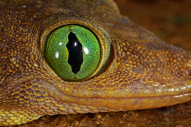 Green-eyed Gecko (Gekko smithi) with pupil fully opened, Lambir Hills National Park, Sarawak, Malaysia  -  Christian Ziegler