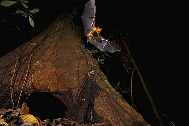 Yellow-throated Big-eared Bat (Lampronycteris brachyotis) leaving roost, Smithsonian Tropical Research Station, Barro Colorado Island, Panama  -  Christian Ziegler