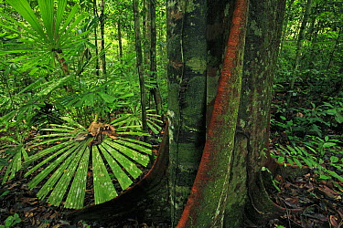 Fan Palm (Licuala sp) in rainforest, Lambir Hills National Park, Sarawak, Malaysia  -  Christian Ziegler