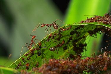 Green Tree Ant (Oecophylla smaragdina) guards protecting colony, Lambir Hills National Park, Sarawak, Malaysia  -  Christian Ziegler