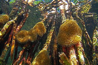 Red Mangrove (Rhizophora mangle) aerial roots provide space for Sun Anemones (Stichodactyla helianthus), Bastimentos Marine National Park, Bocas del Toro, Panama  -  Christian Ziegler