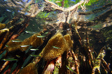 Red Mangrove (Rhizophora mangle) aerial roots provide space for Sun Anemones (Stichodactyla helianthus) and act as a shelter for small fish, Bastimentos Marine National Park, Bocas del Toro, Panama  -  Christian Ziegler