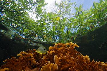 Fire Coral (Millepora alcicornis) growing directly beneath Red Mangroves (Rhizophora mangle), Bastimentos Marine National Park, Bocas del Toro, Panama  -  Christian Ziegler