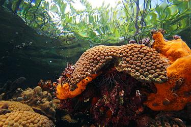 Great Star Coral (Montastraea cavernosa) growing directly beneath Red Mangroves (Rhizophora mangle), Bastimentos Marine National Park, Bocas del Toro, Panama  -  Christian Ziegler