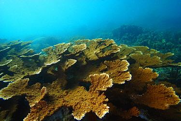 Elkhorn Coral (Acropora palmata), Bastimentos Marine National Park, Bocas del Toro, Panama  -  Christian Ziegler