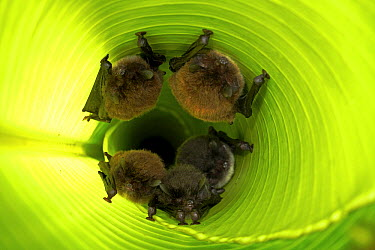 Spix's Disk-winged Bat (Thyroptera tricolor) group roosting in rolled up Heliconia (Heliconia sp) leaf with the help of tiny suction cups on their wings, Smithsonian Tropical Research Station, Barro C...  -  Christian Ziegler