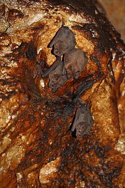 Jamaican Fruit-eating Bat (Artibeus jamaicensis) group roosting in a cave, Bocas del Toro, Panama  -  Christian Ziegler
