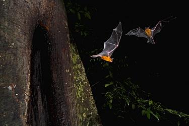 Greater Bulldog Bat (Noctilio leporinus) pair leaving its roost at nightfall, Smithsonian Tropical Research Station, Barro Colorado Island, Panama  -  Christian Ziegler