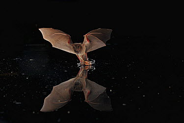 Long-legged Bat (Macrophyllum macrophyllum) flying over water surface catching dead and drowning insects, Smithsonian Tropical Research Station, Barro Colorado Island, Panama  -  Christian Ziegler