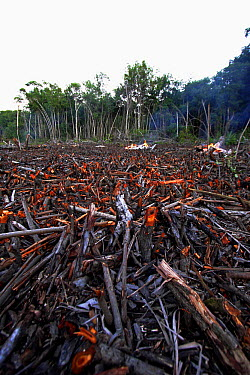Red Mangrove (Rhizophora mangle) old growth stands clear cut, Hopkins, Belize  -  Christian Ziegler
