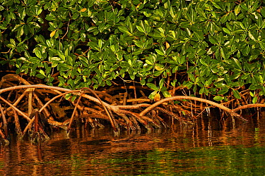 Red Mangrove (Rhizophora mangle) aerial roots, Rio Grande, southern Belize  -  Christian Ziegler