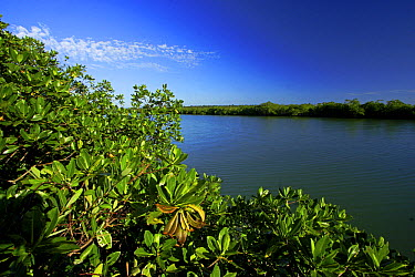 Red Mangrove (Rhizophora mangle) growing along Rio Grande, southern Belize  -  Christian Ziegler