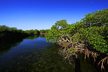 Red Mangrove (Rhizophora mangle) forest along river, Twin Cays, Carrie Bow Cay, Belize  -  Christian Ziegler