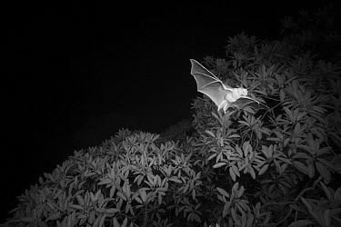Great Fruit-eating Bat (Artibeus lituratus) flying at night, Soberania National Park, Panama  -  Christian Ziegler