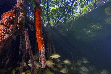 Red Mangrove (Rhizophora mangle) aerial roots providing shelter for school of small fish, Carrie Bow Cay, Belize  -  Christian Ziegler