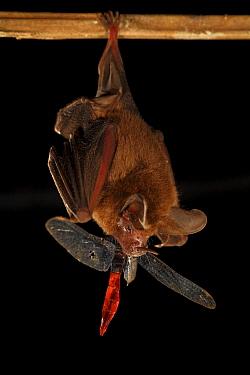 Hairy Big-eared Bat (Micronycteris hirsuta) feeding on large dragonfly, Smithsonian Tropical Research Station, Barro Colorado Island, Panama  -  Christian Ziegler