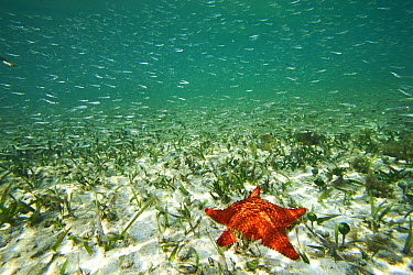 Cushioned Star (Oreaster reticulatus) in seagrass with schooling fish, Twin Cays, Carrie Bow Cay, Belize  -  Christian Ziegler
