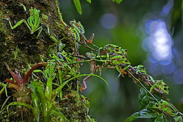 Misfit Leaf Frog (Agalychnis saltator) mass mating, La Selva, Costa Rica  -  Christian Ziegler