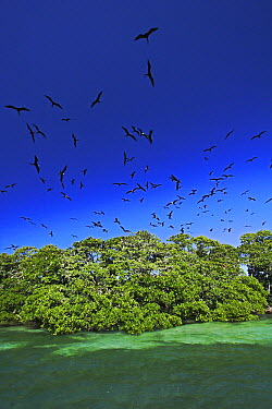 Magnificent Frigatebird (Fregata magnificens) breeding colony on a small mangrove island, Carrie Bow Cay, Belize  -  Christian Ziegler
