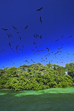 Magnificent Frigatebird (Fregata magnificens) breeding colony on a small mangrove island, Carrie Bow Cay, Belize  -  Christian Ziegler
