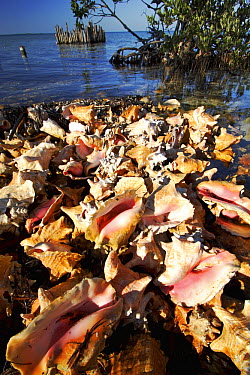 Illegal conch poaching camp with hundreds of shells, Carrie Bow Cay, Belize  -  Christian Ziegler