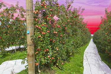 Apple (Malus sp) orchard with nets protecting fruit from foraging birds, South Island, New Zealand  -  Yva Momatiuk & John Eastcott