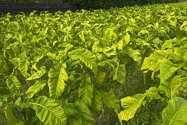 Tobacco (Nicotiana sp) plants in field, South Island, New Zealand  -  Yva Momatiuk & John Eastcott
