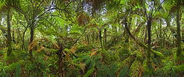 Silver Tree Fern (Cyathea dealbata) group in subtropical rainforest near Fox Glacier, South Island, New Zealand  -  Yva Momatiuk & John Eastcott