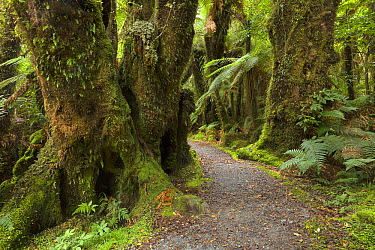 Silver Tree Fern (Cyathea dealbata) group near trail in subtropical rainforest near Fox Glacier, South Island, New Zealand  -  Yva Momatiuk & John Eastcott