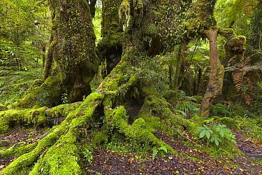 Massive old growth tree trunks in subtropical rainforest, South Island, New Zealand  -  Yva Momatiuk & John Eastcott