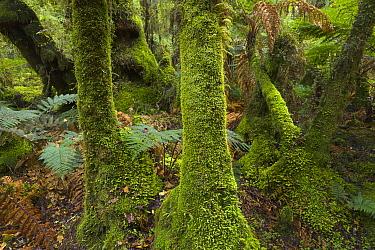Silver Tree Fern (Cyathea dealbata) and moss covered trees in subtropical rainforest near Fox Glacier, South Island, New Zealand  -  Yva Momatiuk & John Eastcott