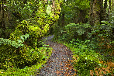 Silver Tree Fern (Cyathea dealbata) near trail in subtropical rainforest near Fox Glacier, South Island, New Zealand  -  Yva Momatiuk & John Eastcott