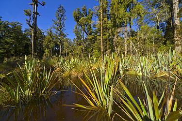 Common Flax (Linum usitatissimum) growing in wetland, Mount Aspiring National Park, South Island, New Zealand  -  Yva Momatiuk & John Eastcott