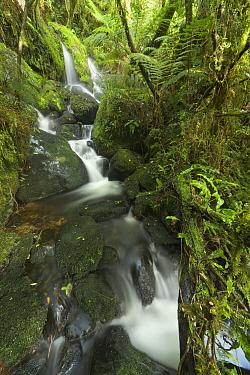 Stream in subtropical rainforest near Fox Glacier, South Island, New Zealand  -  Yva Momatiuk & John Eastcott