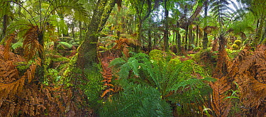 Subtropical rainforest near Fox Glacier, South Island, New Zealand  -  Yva Momatiuk & John Eastcott