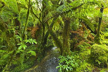 Stream in subtropical rainforest, South Island, New Zealand  -  Yva Momatiuk & John Eastcott