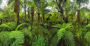 Tree Fern (Dicksonia sp) group in subtropical rainforest, Westland National Park, South Island, New Zealand  -  Yva Momatiuk & John Eastcott