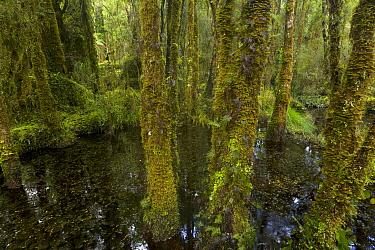Stream in subtropical rainforest, Westland National Park, South Island, New Zealand  -  Yva Momatiuk & John Eastcott