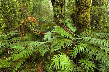 Ferns in subtropical rainforest, Westland National Park, South Island, New Zealand  -  Yva Momatiuk & John Eastcott
