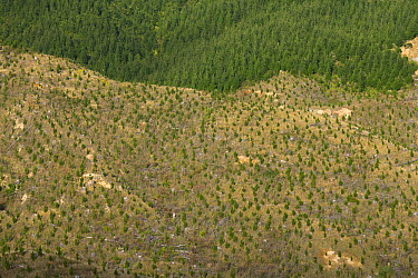 Pine (Pinus sp) saplings replanted on steep eroded hills, North Island, New Zealand  -  Yva Momatiuk & John Eastcott