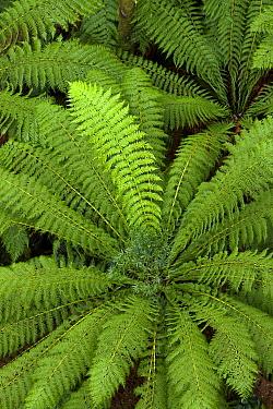 Tree Fern (Dicksonia antarctica) in rainforest, Otway National Park, Victoria, Australia  -  Yva Momatiuk & John Eastcott