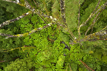 Myrtle Beech (Nothofagus cunninghamii) trees overgrown with mosses and epiphytes and Tree Ferns (Dicksonia antarctica) covering the forest floor, Otway National Park, Victoria, Australia  -  Yva Momatiuk & John Eastcott