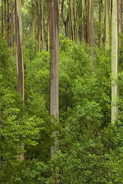 Mountain-ash (Eucalyptus regnans) forest, Otway National Park, Victoria, Australia  -  Yva Momatiuk & John Eastcott
