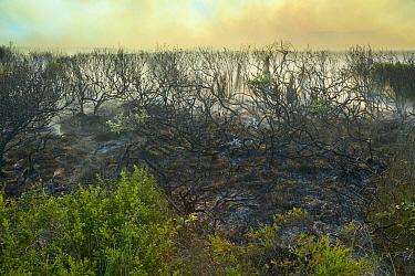 Blackboy Tree (Xanthorrhoea sp) group and shrubs charred by bush fire, Lucky Beach, Western Australia, Australia  -  Yva Momatiuk & John Eastcott