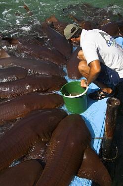 Shark (Apristurus sp) group getting fed in aquarium, Rosario Islands, Colombia  -  Pete Oxford