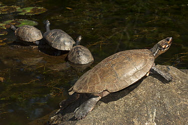 Columbian Slider (Trachemys scripta callirostris) turtle group basking, Medellin, Colombia  -  Pete Oxford