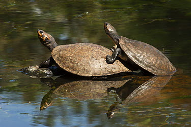Columbian Slider (Trachemys scripta callirostris) turtle pair basking, Medellin, Colombia  -  Pete Oxford