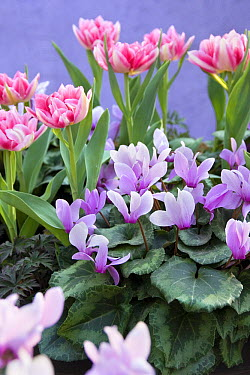 Cyclamen (Cyclamen sp), Tulip (Tulipa sp) odorella variety, and Tulip (Tulipa sp) peach blossom variety flowers  -  VisionsPictures